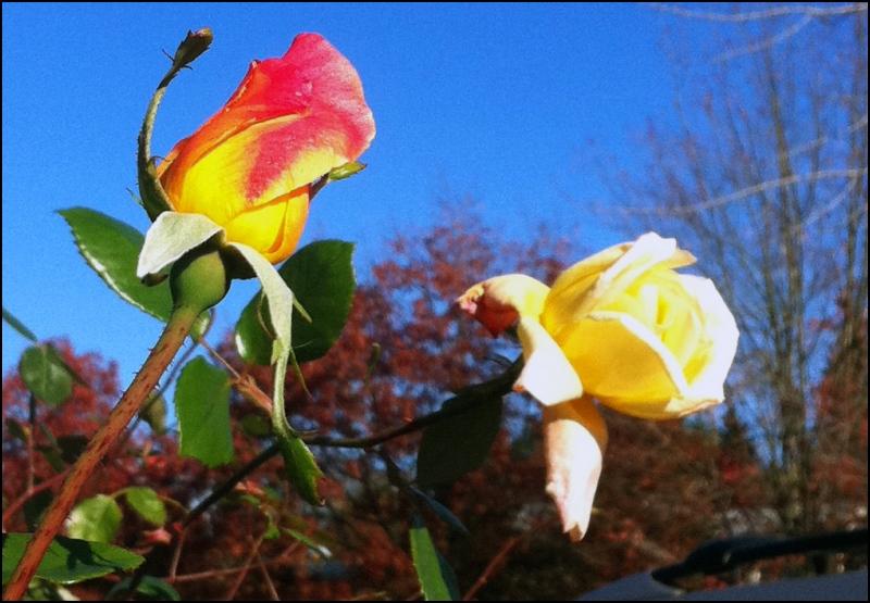 rose bude