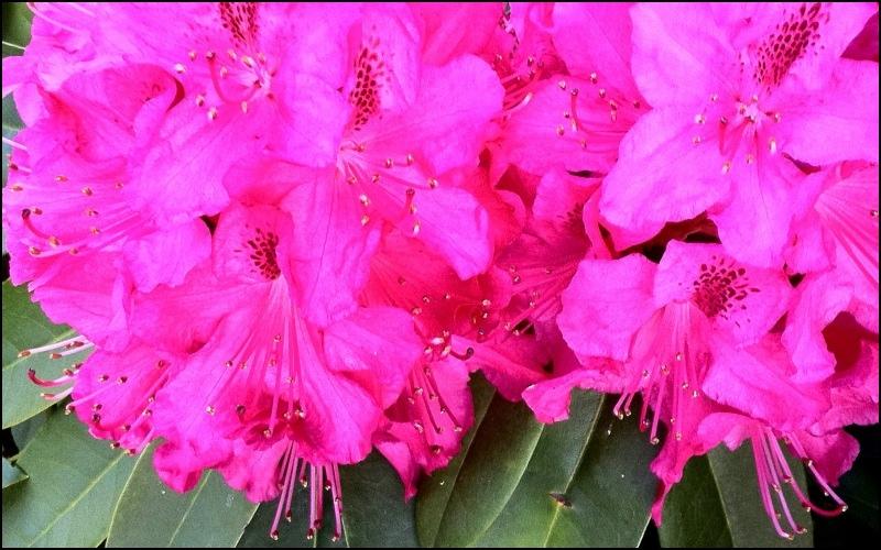 pink rhoddies